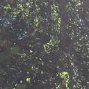 Blue-gray gnatcatcher provisioning nestlings