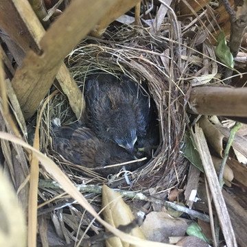 Dark-eyed junco nestlings