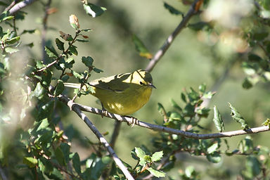 orange-crowned warbler 11-12-11.JPG