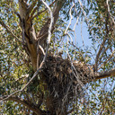 Red-tailed hawk nestlings