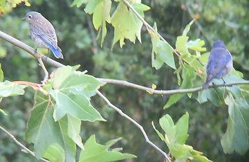 western bluebird --add to website.JPG