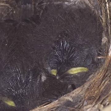 Bewick's wren nestlings