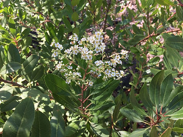 toyon flowers--add to website.JPG