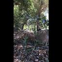 Oak titmouse nestling provisioning
