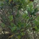 Anna's hummingbird constructing nest