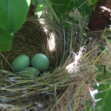 California towhee nest