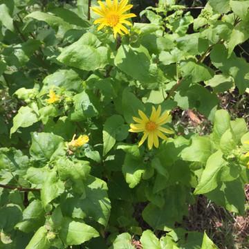 Canyon Sunflower
