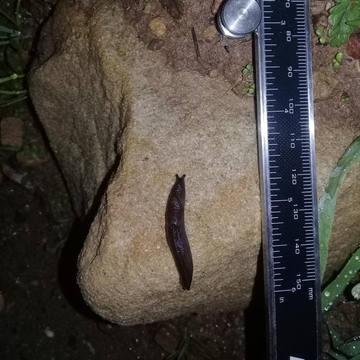Greenhouse Slug