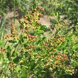 Redberry Buckthorn