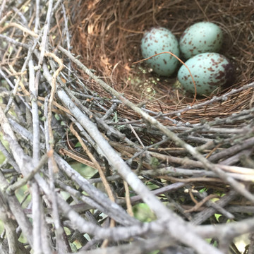California scrub-jay nest