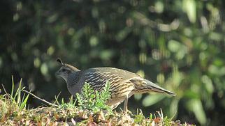 female California quail_Las Barrancas.JP