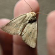 American Dun-bar Moth