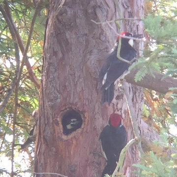 Acorn woodpecker nestling being provisioned