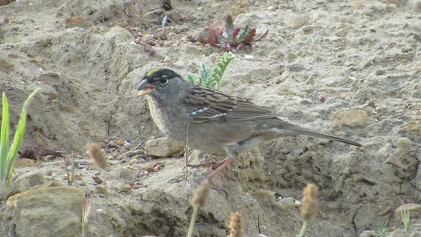 golden-crowned sparrow_Westmont Garden_H