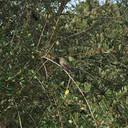 Anna's hummingbird fledgling