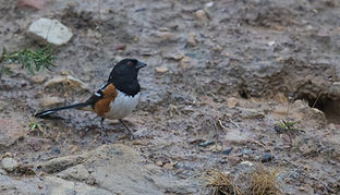 spotted towhee_cropped.jpeg