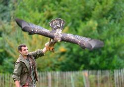 Adler mit offenen Flügeln startet