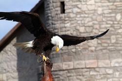 Adler Weißkopfseeadler auf Handschuh
