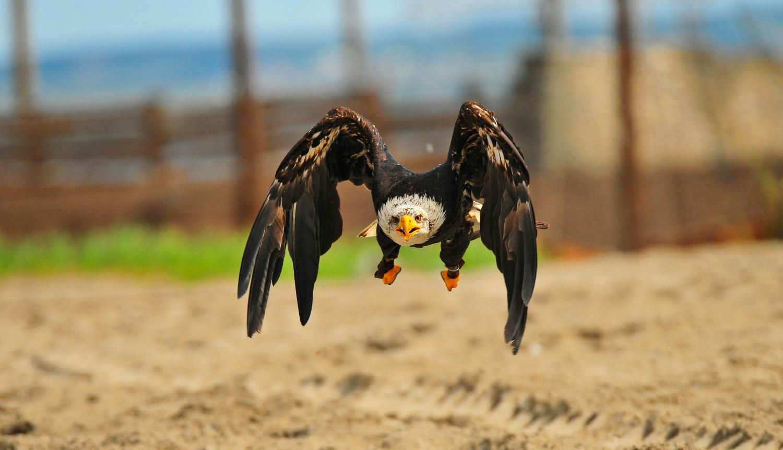Adler fliegt über Sandfläche