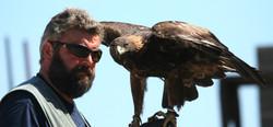 Adler Steinadler auf Hand von Falkne