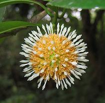 Ochreinauclea_missionis_flower.jpg