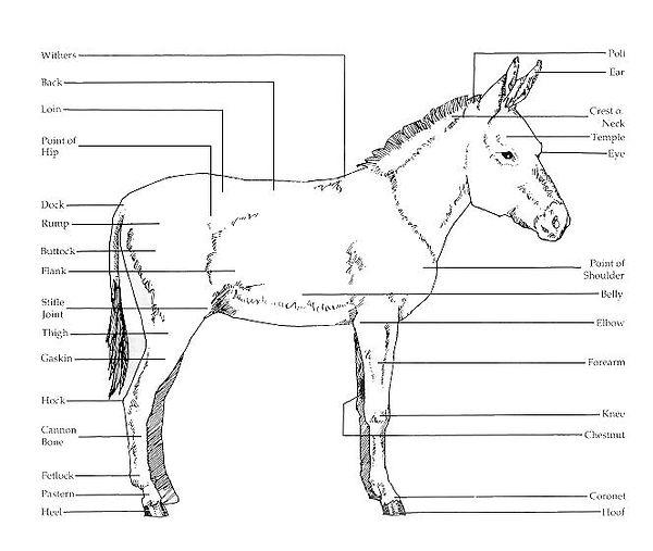 Points of a Donkey.jpg