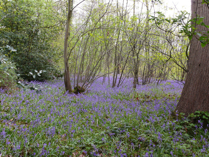Many names has the Bluebell..