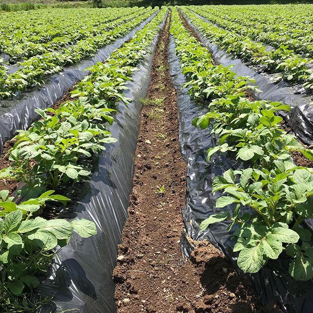 ほぼほぼ芽は出終わったと思います😊メデルシートの方は、序盤遅かったけど一雨降ってからは、通常の黒マルチの方と対して差がなくなりました。__#ジャガイモ  #じゃがいも  #マルチ栽
