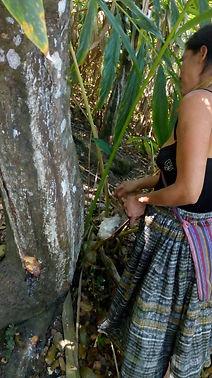 Copal tree