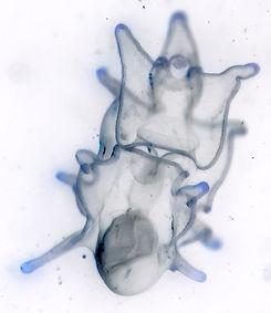 Echinodermata_Asterias rubens bipinnaria