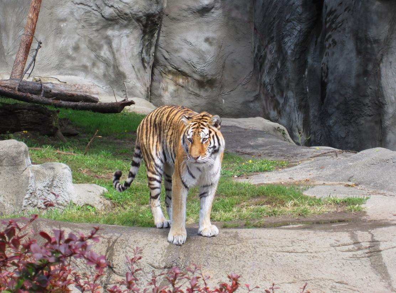 Detroit Zoo - 2011 - Tiger