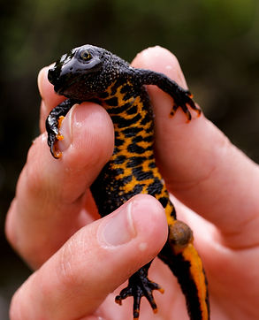 Great-crested-newt.jpg
