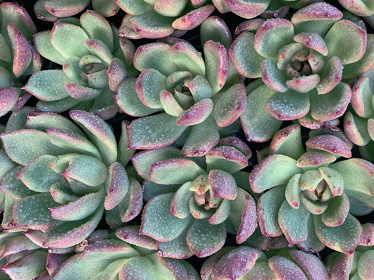 Gift Box of 8 Succulents With Pots