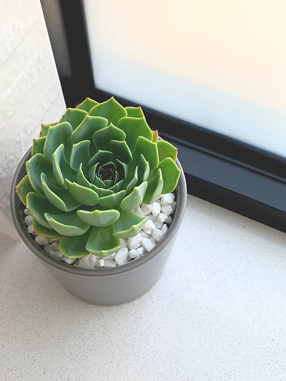 Matte Charcoal Ceramic Cylinder Pot With Rosette Succulent