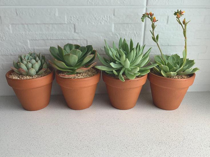 Rosette Succulents in Terracotta