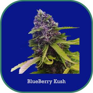 blueberrykush.jpg