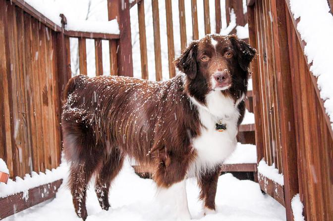 pittsburgh australian shepherd dog photographed in falling snow
