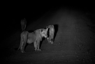 The Lion Hour