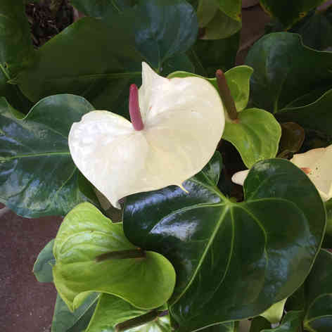 White Anthurium Flamingo
