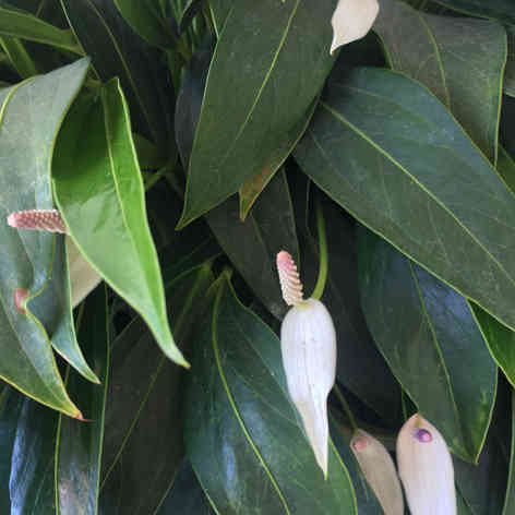 White long leaf Anthurium