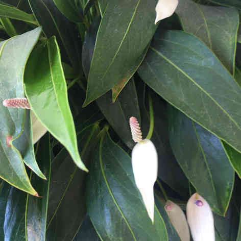 Long leaf Anthurium