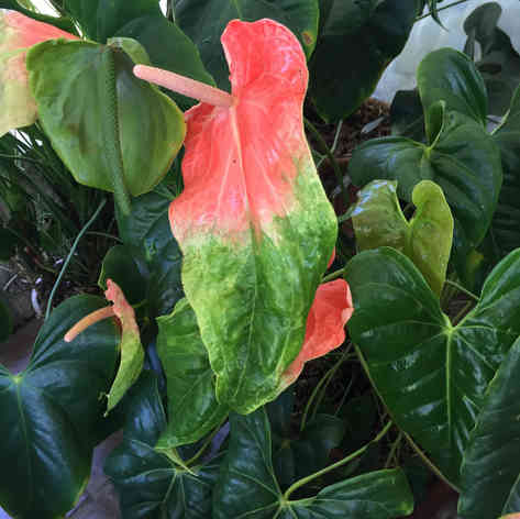 Bi-colour leaf Anthurium