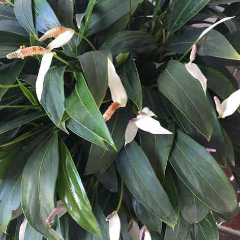 White long leaf Anthurium