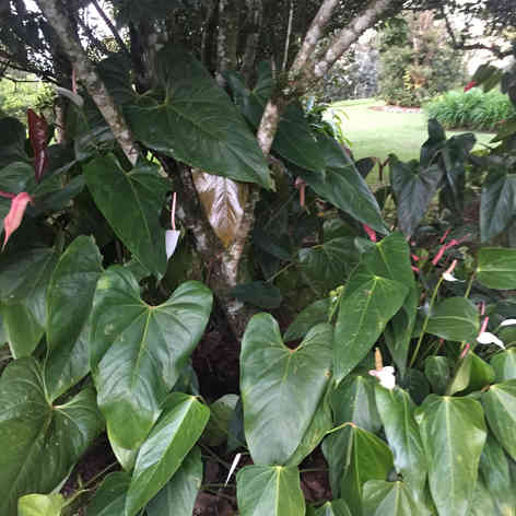 Anthurium under a tree