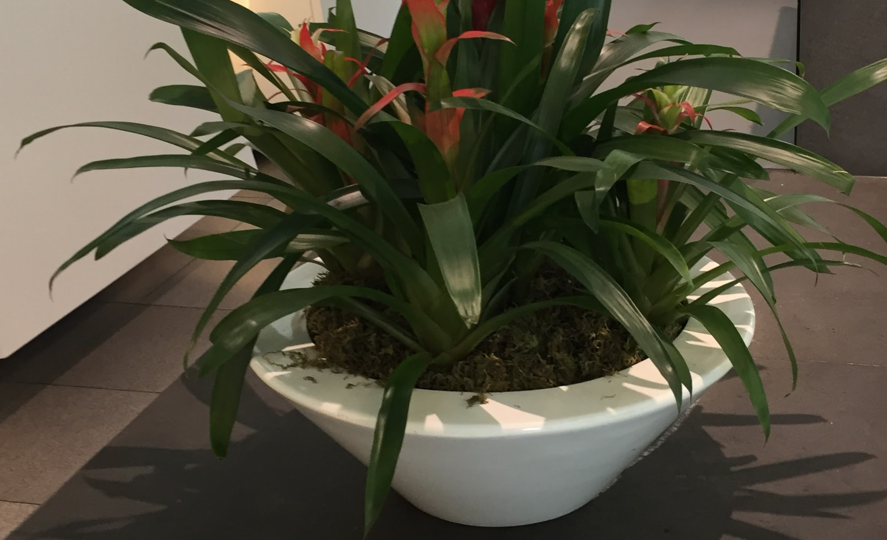 Bowl with Bromeliad by Plantera