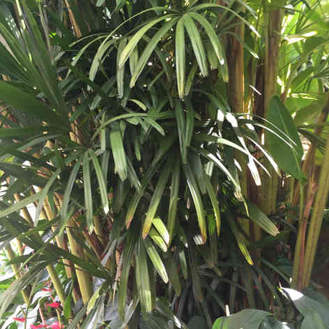 Raphis excelsa and Anthuriums