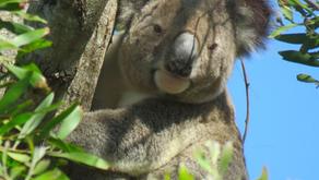 Koala Gardens: Restoring Koala Habitat *a Success Story 🎥