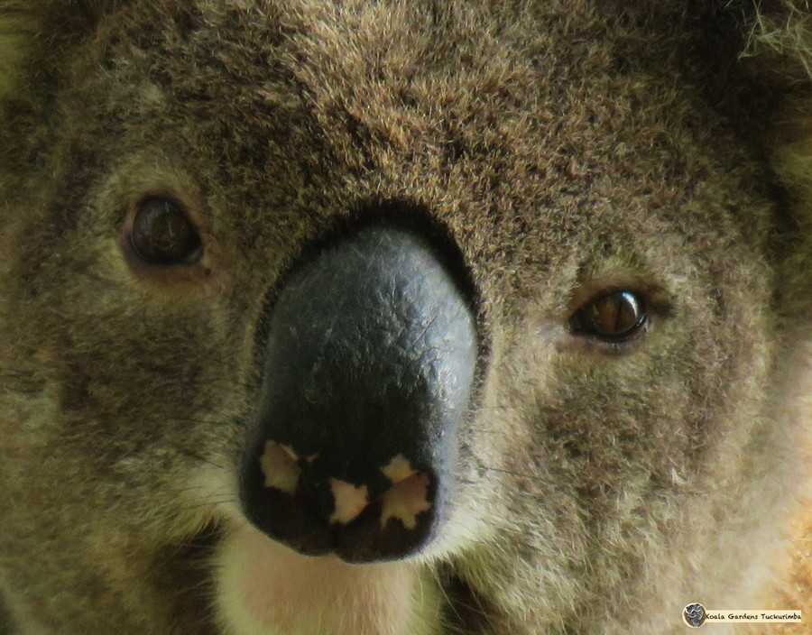 Koala: Our Iconic Animals Need our Help