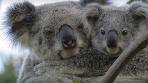 "A Tribute to a Wonderful Koala named ""Mist"" 🎥"