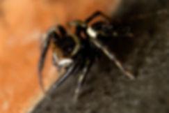צילום מאקרו | עכביש קפצן | jumping spider Hasarius adansoni